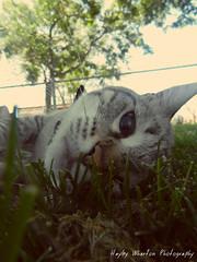 Nala the Cat (hdizzle_219) Tags: cats animals kitties nala