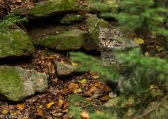 Wilde kat (2) (Caesar56) Tags: wildekat beiersewoud