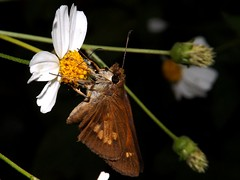 Broad-Winged Skipper (rstickney37) Tags: skipper bidens hesperiidae poanes broadwingedskipper poanesviator