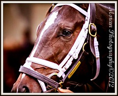Arch Warrior (EASY GOER) Tags: park horse ny sports canon belmont events tracks racing 7d athletes races thoroughbred equine thoroughbreds pletcher belmontpark