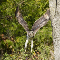 RED-TAILED HAWK  --  JUVENILE (nsxbirder) Tags: ohio hawk juvenile redtailedhawk buteojamaicensis caesarcreekstatepark harveysburg youthpond