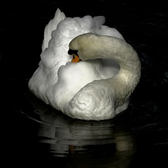 Grooming (Gies!) Tags: bird swan wildlife grooming dieren vogel zwaan thegalaxy flickraward mygearandme mygearandmepremium ringexcellence