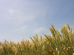 Wheat against the sky (CIMMYT) Tags: plant planta field mxico mexico photo experimental foto head wheat contest headquarters competition research breeding ear campo spike concurso growing agriculture plot sede improvement trigo researchcenter agricultura parcela creciendo espiga researchstation investigacin elbatn experimentstation cimmyt mejoramiento centrodeinvestigaciones estacinexperimental estacindeinvestigacin