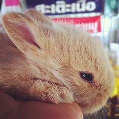 ลูกกระต่ายแคระ...เอ่อแม่กระต่ายตัวใหญ่กว่าแม่อีก