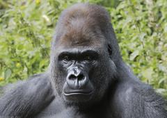 Western lowland gorilla 'Kumbuka' (gentle lemur) Tags: paigntonzoo gggorilla