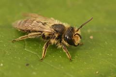 Andrena flavipes - grasbij at Ploegsteert (henk.wallays) Tags: