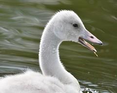 WhooperXTundra cygnet (melaniepalik) Tags: wildlife nature birds adorable sweet baby cygnets swan