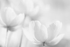 Barely there (Tracey Rennie) Tags: bokeh highkey anenomes