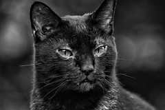 Stray Cat (IAN GARDNER PHOTOGRAPHY) Tags: cat pussy feline blackcat domestic black blackwhitepassionaward pet blackandwhite