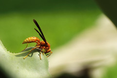 Avispa sobre maguey (Mauriciove00) Tags: avispa huachichila agave jardinetnobotnicodeacapantzingo cuernavaca morelos mxico insecto alas verde natural naturaleza macro