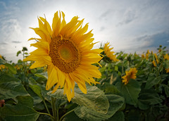 Sunflowers in Poland (Arturo_Jose) Tags: girasol sunflowers poland olympus 8mm