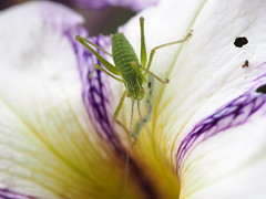 Grasshopper (quarzonero ...Aldo A...) Tags: cavalletta grasshopper insetto nature insect coth coth5