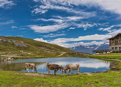 Al rifugio Sunny Valley (m.2775) - Valle dell'Alpe (marypink) Tags: valledell'alpe rifugiosunnyvalley m2775 laghetto montagna parconazionaledellostelvio mucche cielo sky reflection nuvole clouds mountains nikond800 nikkor1635mmf40 cow