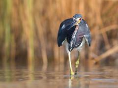On the Move (PeterBrannon) Tags: bird egrettatricolor florida hunting nature pinellascounty pose tricoloredheron water wildlife headon redeye stalking wetlands