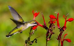 Ruby-throated Hummingbird (wvsawwhet) Tags: westvirginia wv westvirginiabirds bird birding birds birdwatching birdsofwestvirginia hummingbird rubythroated marioncounty prickettsfort