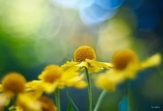 Flower Dance (wiebke-e) Tags: primoplan 58mm olympus flower blume bokeh
