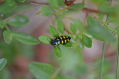 Buprestis octoguttata (esta_ahi) Tags: canbarcel buprestis octoguttata buprestisoctoguttata buprestidae coleoptera insectos fauna santmartsarroca peneds barcelona spain espaa