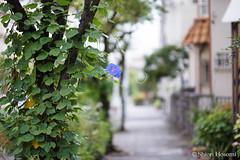 Ipomoea nil (Shiori Hosomi) Tags: 2016 september japan tokyo 23    flowers plants       solanales convolvulaceae ipomoea