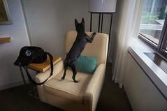 Room inspector at Delta Hotel, Quebec city (lezumbalaberenjena) Tags: quebec city canada canad delta hotel dog chien perro boston terrier bully room habitacin habitacion chambre