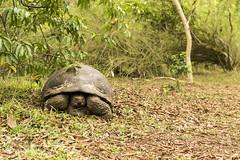 When the Turtles Go Marching In (Mario Donati) Tags: 7dwf nikon d3100 nikkor35mm18 galpagos ecuador