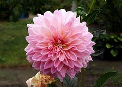 Kwiaty z mojego ogrdka (tomek034 (Thank you for the 1 100 000 visits)) Tags: kwiat kwiaty dalia ogrd flora rolina natura