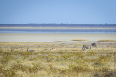 Etosha Salzpfanne (gaengler) Tags: etosha salzpfanne saltpan namibia zebra springbock natur africa