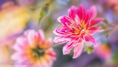 Beauties ... (frederic.gombert) Tags: dahlia flower flowers red pink color colors yellow light sun sunlight summer macro nikon d810 autumn 1001nights 1001nightsmagiccity