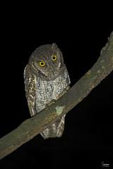 Tropical Screech-Owl. (Christian Sanchez Photography) Tags: owl owlnight costaricabird birds owls costarica anima wild wildlife nature