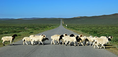 crossing (on the road to kharkhorin - monoglia) (bloodybee) Tags: 365project sheep herd animal cross road highway motorway freeway landscape vanishingpoint perspective mountain hills sky blue green gray grey explore