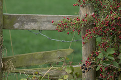 HFF (jillyspoon) Tags: hff fence fencefriday happyfencefriday autumn autumwatch country file wood brokenfence berries blackberries canon70200 canon0d barbedwire barbed