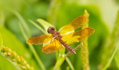 7K8A9782 (rpealit) Tags: scenery wildlife nature sparta mountain management area ryker lake male amberwing dragonfly