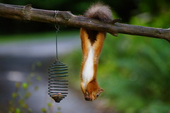 Eating Lunch. (artanglerPD) Tags: squirrel eating nuts hanging upside down
