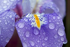 Iris with water drops_1402.jpg (ImaginingsLifeImages) Tags: irideae iridaceae flowers nature australia home woodville northerntablelands garden newengland iridoideae floraandfauna macro flora asparagales iris nsw waterdrops water weather armidale rain places armidaleregion
