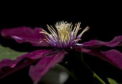 Clematis (Klaus Ficker --Landscape and Nature Photographer--) Tags: flower kentuckyphotography kentucky usa klausficker canon eos5dmarkii fabuleuse closeup macro