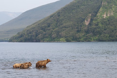 Brown bear (wietsej) Tags: kurilskoye lake kamchatka russia brown bear landscape natu wildlife sonyalphadslra900 sal70400g