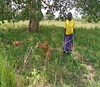 Sep 2016 Salume bought goats with her own money (Foods Resource Bank) Tags: maize soil yields kitchen garden goats income jack bean lablab humanitarian food security women self help group fertility