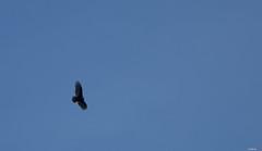Turkey Vulture (Asif A. Ali) Tags: merbleue powershot canon park g1x bog ottawa markii asifalicom asifaali turkey vulture flight flying sky blue parc de la gatineau