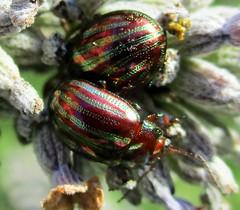 Beatles / Beetle Macro Monday (seanwalsh4) Tags: beetles rosemary nature colour sean walsh bristol nice shiny macromondays mondays happy colorful cute