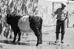 Tiempo de bao (Alvimann) Tags: alvimann canon canoneos550d canon550d canoneos gente man men people hombre male hombres cow cattle ganado cows hat hats sombrero sombreros boina boinas beret blackandwhite black negro white blanco blancoynegro