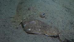 IMG_4824 (geirf) Tags: underwaterphotography scuba diving oslo sjøstrand fish flatfish turbot
