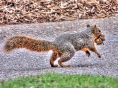 Gathering Nuts (clarkcg photography) Tags: squirrel acorns park fur animal run scamper gathering fall fauna sundayfauna7dwf 7dwf
