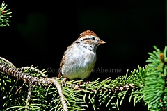 Chipping Sparrow (--Anne--) Tags: bird birds nature wildlife animals sparrow sparrows chippingsparrow spruce pine tree branch
