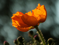 Orange Poppy (++sepp++) Tags: garten natur mohn poppy nahaufnahme closeup blume flower blte blossom gegenlicht backlight backlit garden nature