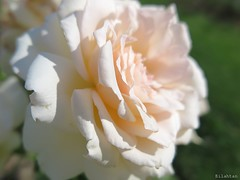 Fragile beauty (nathaliedunaigre) Tags: fleur flower rose beaut beauty fragile nature dtails details macro jardin garden roseraie douceur softness bokeh