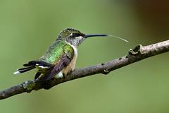 Small Wonders series - (#5) (Explored!) (Windows to Nature) Tags: illinois nikon hummingbird chicagobotanicgarden rubythroatedhummingbird archilochuscolubris nikkor300mmf4 d7000 windowstonature windowstonaturecom