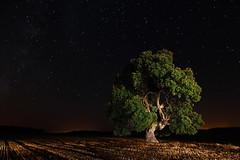Encina centenaria (Explore) (raul_lg) Tags: sky canon arbol cielo estrellas nocturna encina linterna largaexposicion almansa milenaria canon1635 raullg solarforcel600