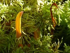 Is this Clavulinopsis laeticolor? (annkelliott) Tags: canada macro nature closeup forest lumix moss fungi alberta fungus pointandshoot mycology yelloworange beautyinnature annkelliott clubfungus clavulinopsislaeticolor westbraggcreek dmcfz40 fz40 panasonicdmcfz40 wofbraggcreek p1490485fz40