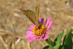 butterfly (Ludmee87) Tags: summer flower butterfly nikon virág nyár lepke vasrózsa