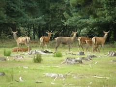 Red Deer - Minsmere, Suffolk 2012f (Steven Falk) Tags: red deer steven falk cervus elephas