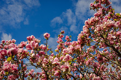 Spring Flower Power (NUkiwi) Tags: newzealand flower tree auckland magnolia manukau aucklandbotanicalgardens